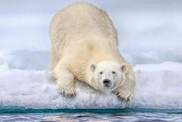 تاثیر گرمایش زمین بر جانوران قطب شمال