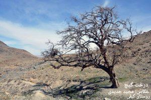 درخت-گیچ-روستای-گیلی-عکس-مجید-جدید