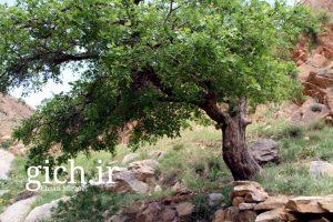 عکس-درخت-گیچ-رود-دره-باباصافی-روستای-کودزر-اراک-استان-مرکزی-عکاس-احسان-میرزائی-سایت گیچ