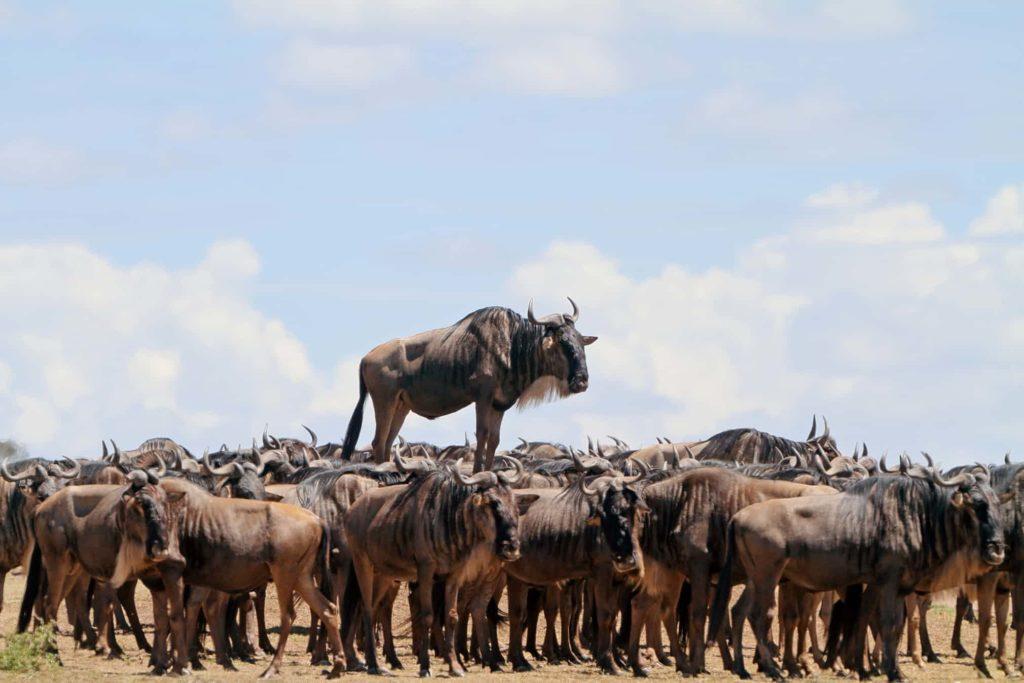 عوارض ورود خودرو به طبیعت صحرای آفریقا؛ اختلال در امر قلمرو گزینی جانداران.