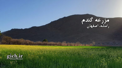 مزرعه گندم در رامشه اصفهان ۰۳- کشاورزی و تولید گندم- عکاس احسان میرزائی - مجله گیچ