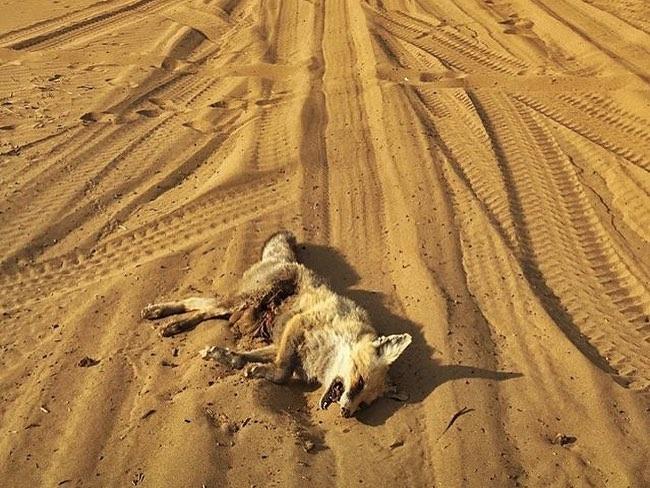 عوارض ورود خودرو به طبیعت روباه کشته شده در منطقه مرنجاب به واسطه ورود برخی آفرودرها!
