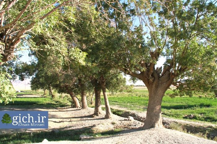 درخت ونو در روستای گیلی