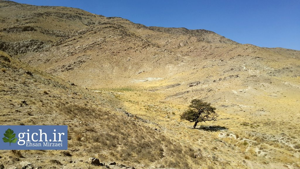 درخت گیچ یا ولیک در روستای گیلی