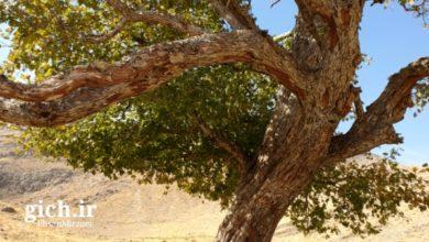 درخت گیچ - روستای گیلی - مجله گیچ