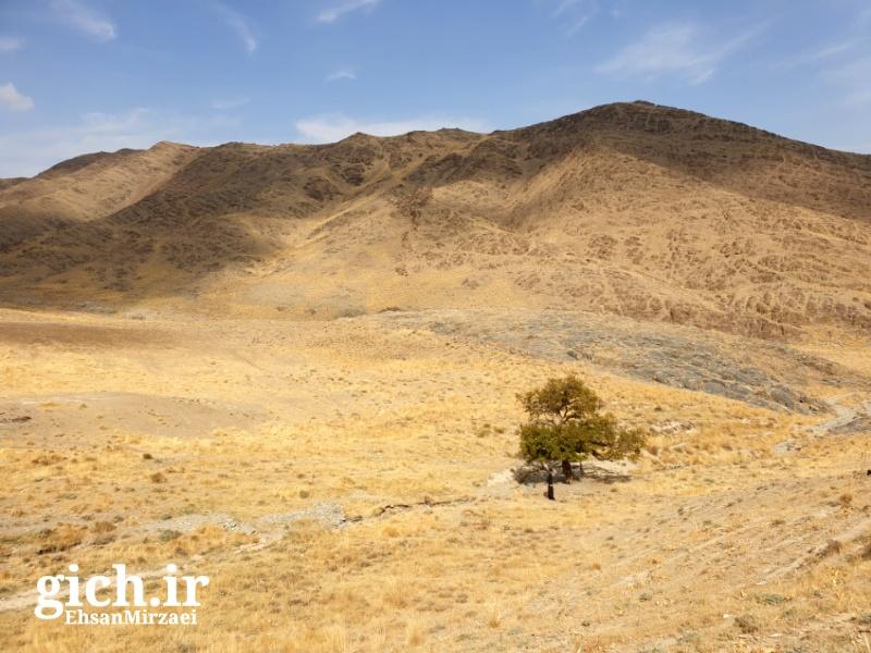 تصویر تک درخت گیچ در روستای گیلی-اراک - مجله گیچ gich.ir