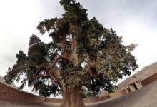 معرفی درختان ایران - درخت سرو زرین سنگان خاش