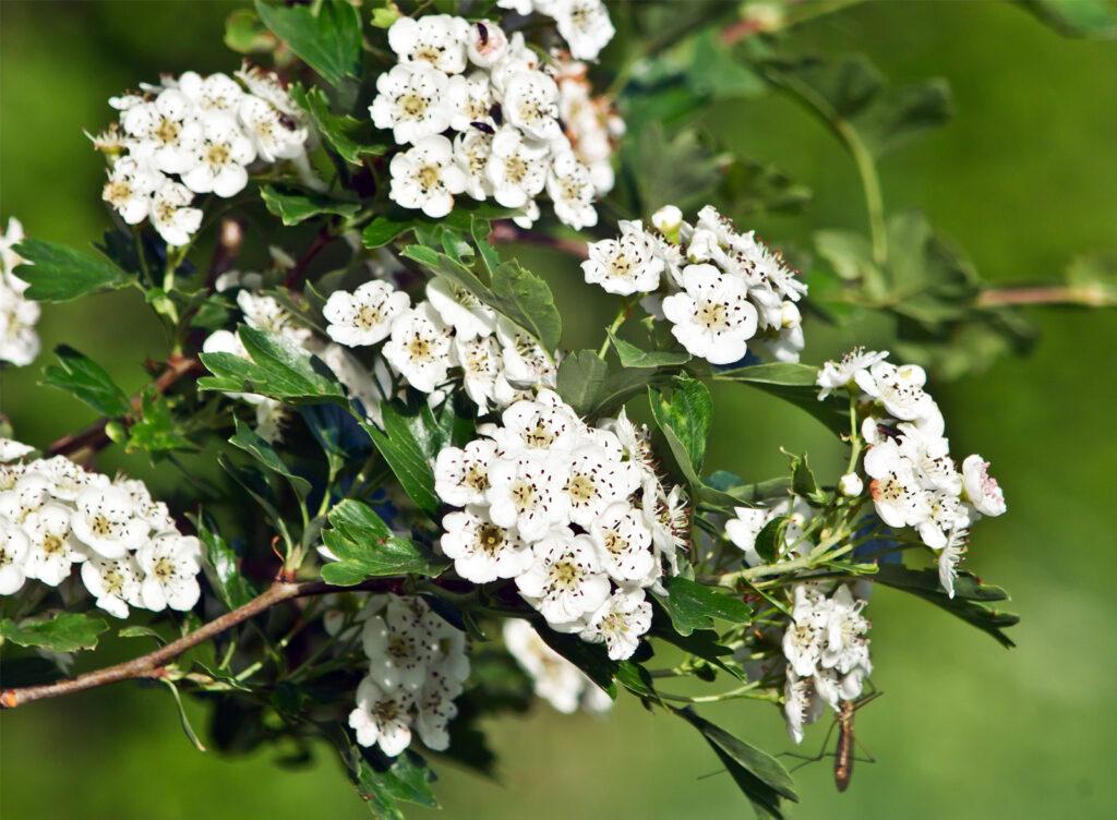 Common-hawthorn-flower-plant-fruits-Eurasia-hedge-gich.ir شکوفه زالزالک اوراسیا - مجله گیچ