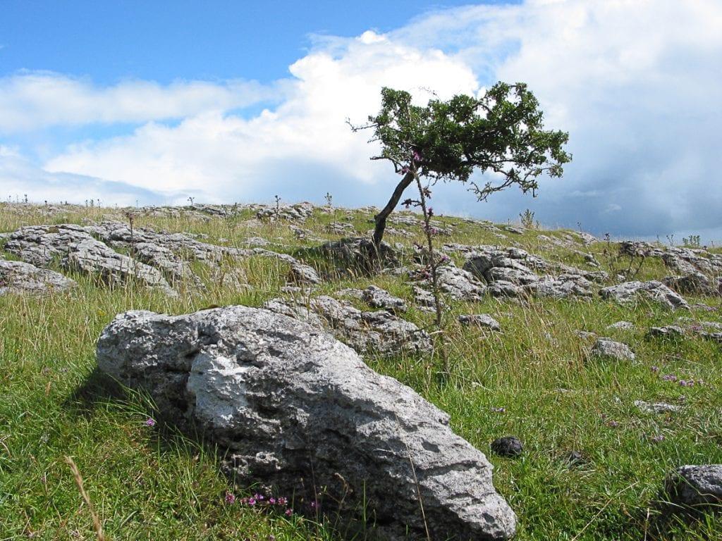 hawthorm-limestone-gich.ir درخچه زالزالک در کنار سنگهای آهکی - مجله گیچ