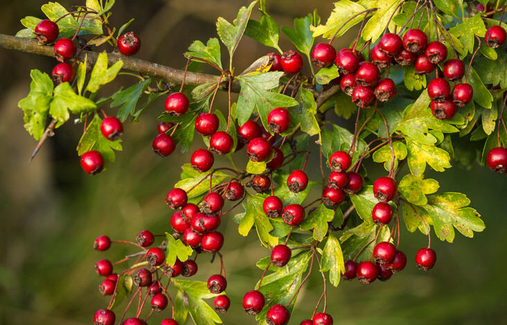 میوه درخت زالزالک یا گیچ