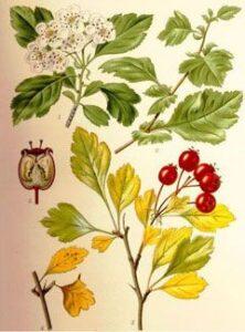 hawthorn-crataegus-gich.ir میوه، برگ و شکوفه زالزالک - مجله گیچ