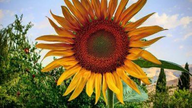 گل آفتابگردان در باغچه ۱۳۹۹